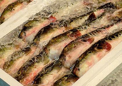 さまざまなフグが集まる南風泊市場