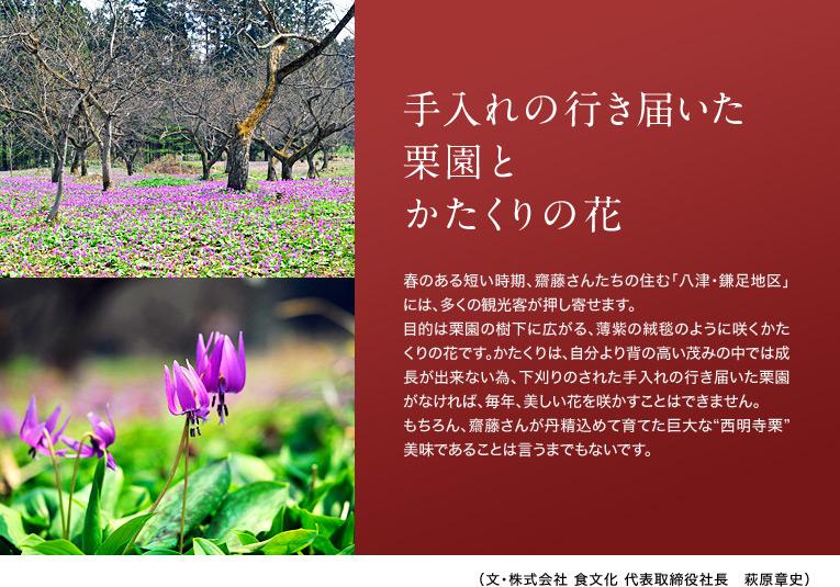 """【手入れの行き届いた栗園とかたくりの花】 春のある短い時期、齋藤さんたちの住む「八津・鎌足地区」には、多くの観光客が押し寄せます。目的は栗園の樹下に広がる、薄紫の絨毯のように咲くかたくりの花です。かたくりは、自分より背の高い茂みの中では成長が出来ない為、下刈りのされた手入れの行き届いた栗園がなければ、毎年、美しい花を咲かすことはできません。もちろん、齋藤さんが丹精込めて育てた巨大な""""西明寺栗""""美味であることは言うまでもないです。 (文・株式会社 食文化 代表取締役社長 萩原章史)"""
