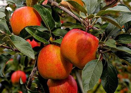 たくさんの葉が果実に蜜のもとを送ります