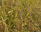 有機JAS認証『須田さんたちのお米』秋田県由利本荘産 あきたこまち 5kg【玄米】の商品画像