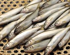 琵琶湖産 姉川の天然鮎  約1kg(目安として40〜60匹ほど) ※冷蔵
