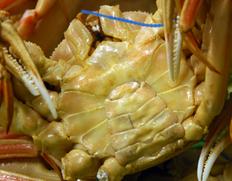 11月出荷 『茹で 匠の松葉カニ 魚政BLACK』お徳用 1杯 1200g級(特大サイズ) 丹後半島沖産 ※冷蔵