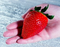 2/3〜8出荷 『アイベリー』千葉県小見川産いちご 約500g(8〜9粒)※冷蔵
