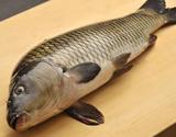 福岡産 活鯉《養殖》 1尾(約1kg) ※冷蔵の商品画像