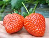 『さぬきひめ』 香川県産いちご 約1kg(25〜42粒前後) ※冷蔵の商品画像
