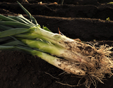 『青森在来種 南部太ねぎ』青森県産 極太5本 約2.5kgの商品画像