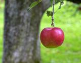 青森県産 『百年の樹齢を重ねる昔ながらの紅玉』 約2.5kg(12〜20玉) ※常温の商品画像