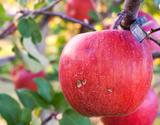ちょっと訳あり 大野農園 復活アップル『完熟サンふじ』 福島県石川町産りんご 約5kg(13〜18玉)の商品画像