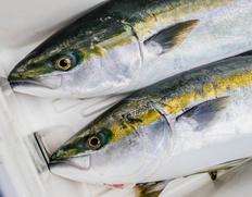 9/25出荷◇ 原魚で8kg『天然ブリ(1/4カット)』北海道産 (約800g) ※冷蔵 t