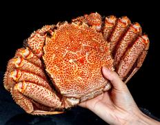 特大『茹で毛蟹』北海道オホーツク海産 1杯 800gUP(ボイル後重量)※冷凍