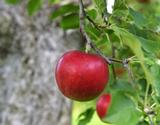 青森県産 『百年の樹齢を重ねる昔ながらの紅玉りんご』 2.5kg×2箱(24〜40玉) ※常温の商品画像