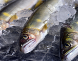 『川魚4種 アユ・ヤマメ・イワナ・ニジマス』各種2尾 8尾入り ※冷蔵【豊洲市場直送】の商品画像