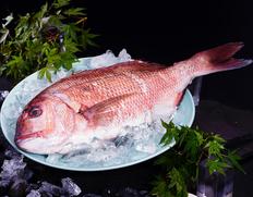 『生食用 養殖真鯛(内臓付き丸魚)』1尾 1.5kgUP 愛媛県産他 ※冷蔵 【豊洲市場出荷】【★】#元気いただきますプロジェクト