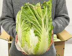 『白菜』 茨城県産 4玉 約15kg 産地箱 ※常温