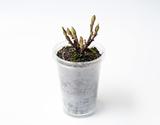 葛西市場よりお届け 『アジサイ (サンセットシリーズ)』ピンク系 1鉢 (目安として 高さ:約25cm、幅:約10cm)※常温の商品画像