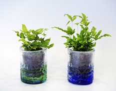 4/19〜24出荷 葛西市場よりお届け『鉢入り観葉植物セット』2鉢 (品種:プテリス、目安として 高さ:約15cm、幅:約8cm) ※常温