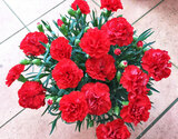 自然開花を楽しむ『母の日カーネーション』 国産 鉢植え5号鉢 赤(グランルージュ) ブリキの化粧鉢・定型メッセージピック・説明書・肥料付きの商品画像