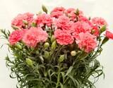 自然開花を楽しむ『母の日カーネーション』 国産 鉢植え5号鉢 ピンク系(クレア等) ブリキの化粧鉢・定型メッセージピック・説明書・肥料付きの商品画像