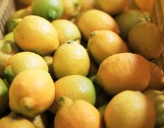 皮まで食べられる!『減農薬栽培・観音山レモン(たおやか)』和歌山産のお取り寄せ通販