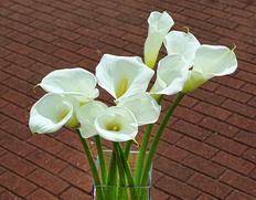 『白いカラーの花束』カラー ラッピング込み ※常温