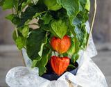 『ほおずき』 鉢植え 観賞用 5寸(実付) 茨城県三和園芸 葛西市場出荷 ※常温の商品画像