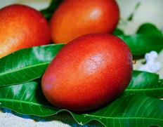 西表島マンゴー出荷組合『完熟マンゴー(品種:アーウィン種)』 秀品のお取り寄せ